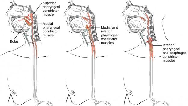 Schlucken: Anatomische Darstellung