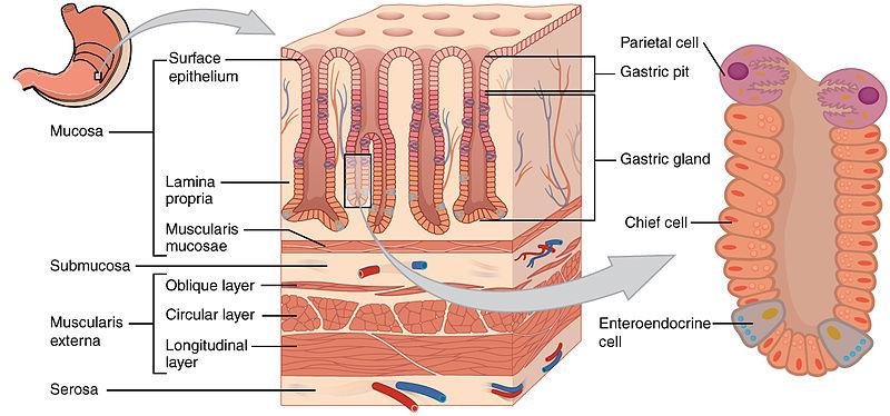 Illustration zur Anatomie und Physiologie der Magendrüsen