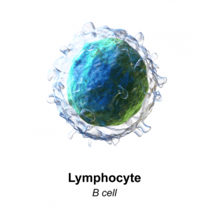 B-Lymphozyten