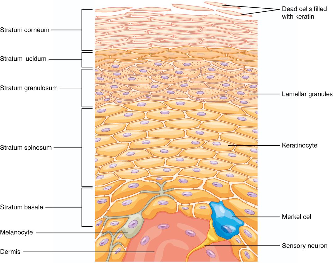 Haut – Aufbau, Funktion & Krankheiten   Lecturio Medizin