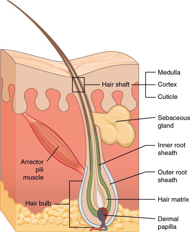Haut – Aufbau, Funktion & Krankheiten | Lecturio Medizin