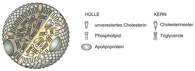 Aufbau eines Lipoproteins