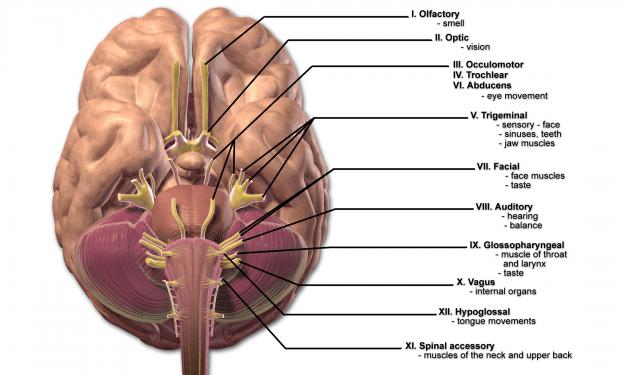 12 Hirnnerven – Fachwissen, Merksätze und Abbildungen