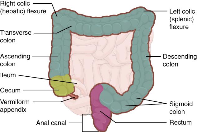 Dickdarm (Intestinum crassum) – Medizinisches Fachwissen