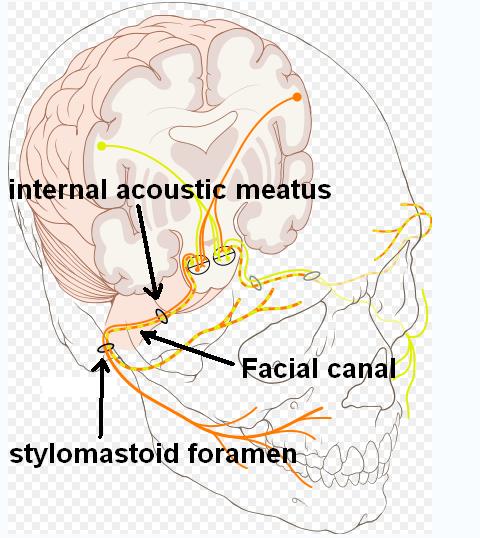 Hirnnerv VII: Nervus facialis – Schematische Darstellung inklusive Beschriftung