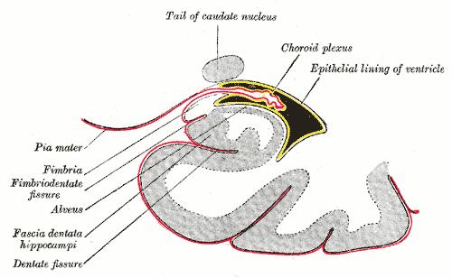 Cranial pia mater