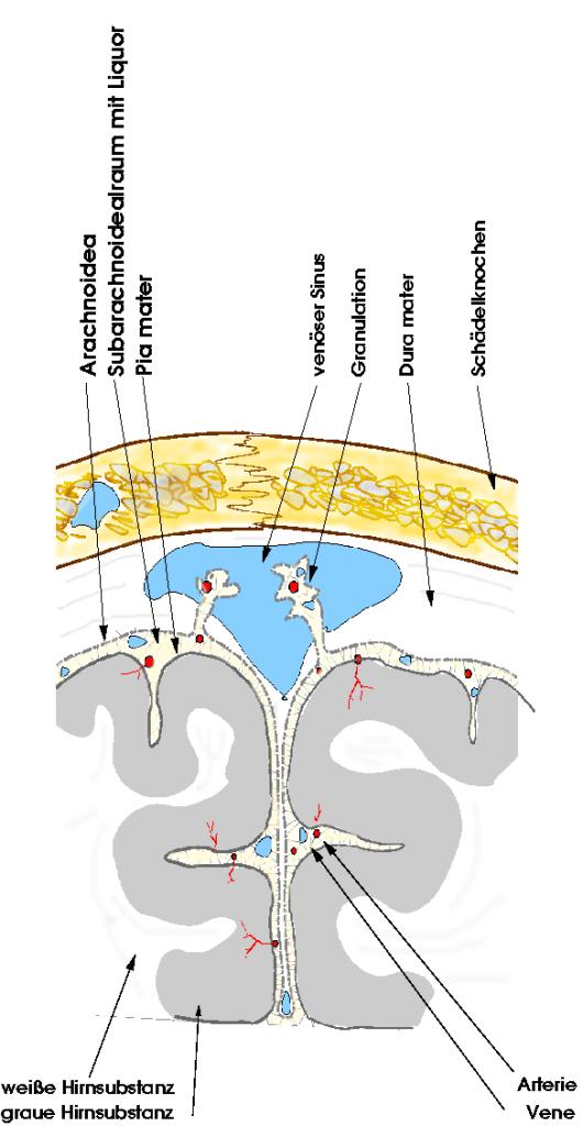 Skizze des Subarachnoidealraumes