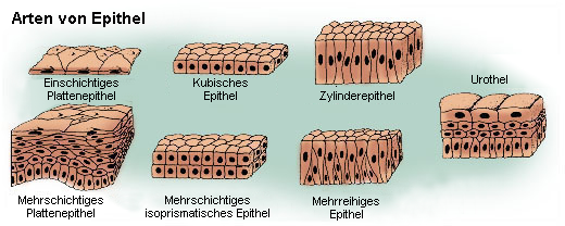 Arten von Epithelien
