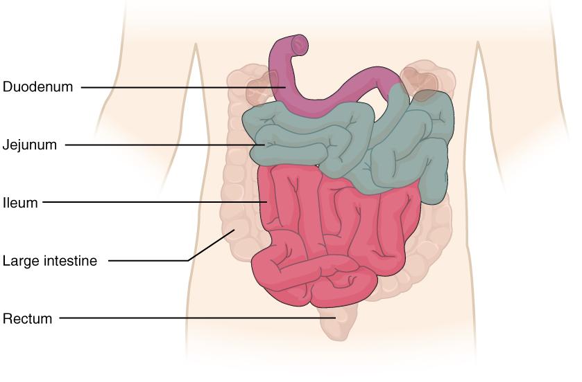 Lage Dickdarm: Schematische Abbildung inkl. duodnum, jejunum, ileum, rectum