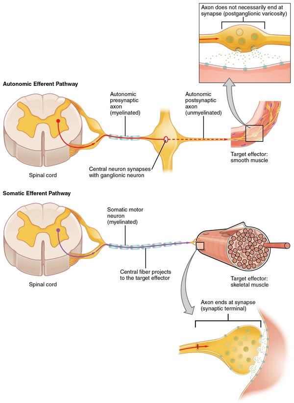 Nervensystem: Aufbau, Funktionsweise und Erkrankungen