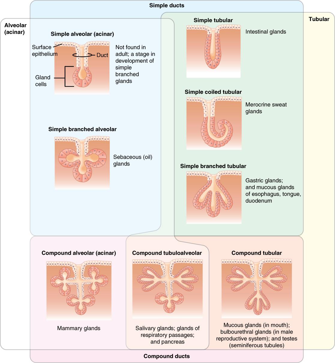 Epithel: Definition, Arten und Funktionen – Histologie