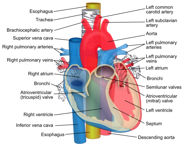 Ösophagus (Speiseröhre): Anatomie, Physiologie & Pathologie