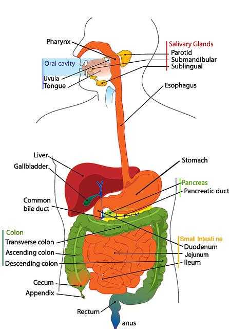Embyronalentwicklung von Lunge und Magen-Darm-Trakt