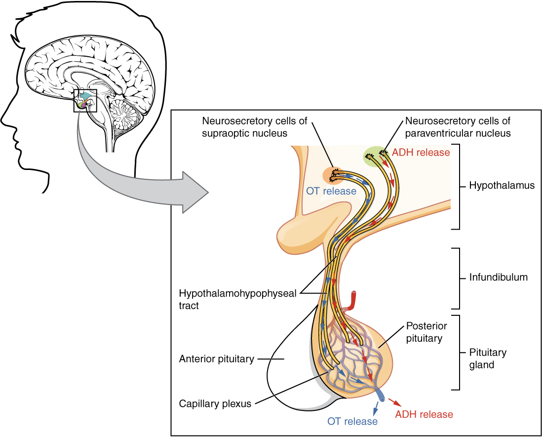 Endokrines System Hormonsystem Endokrine Organe