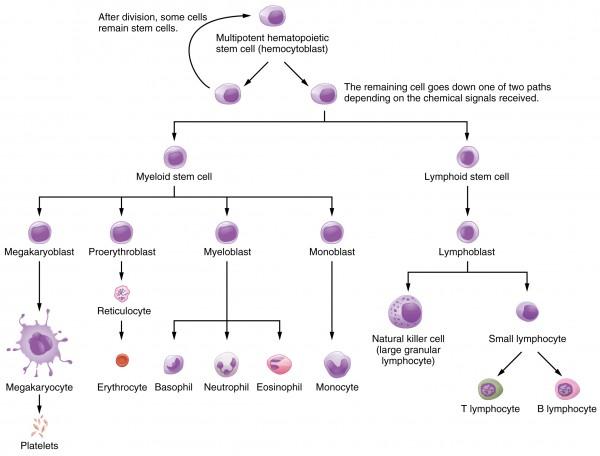 System der Blutbildung im Knochenmark