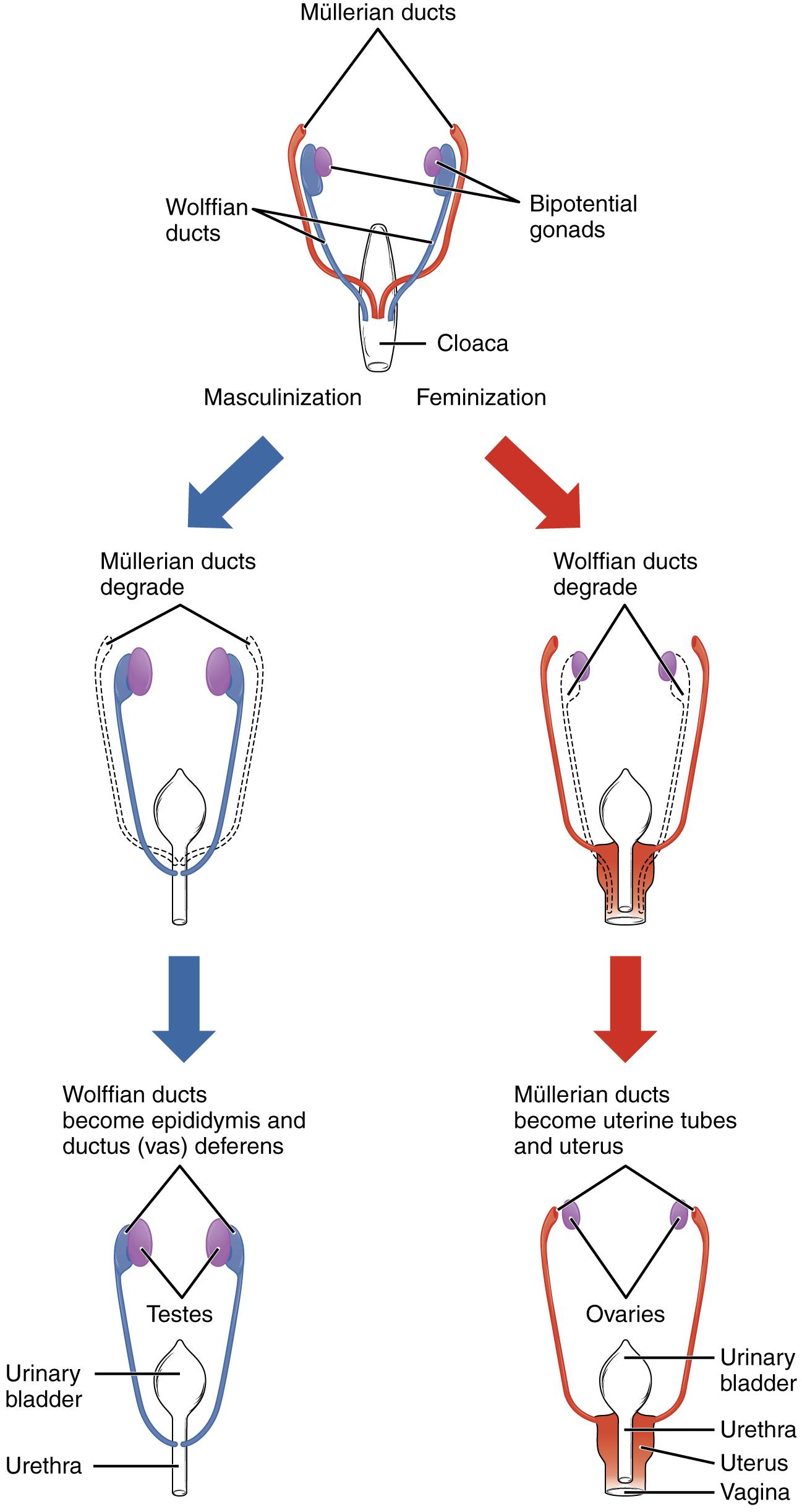 Genitalentwicklung: Anatomische Sexuelle Differenzierung