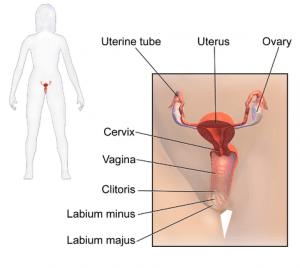 Schematische Darstellung des weiblichen Urogenitaltraktes