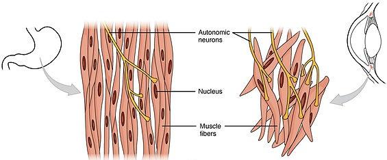 Das glatte Muskelgewebe. Single-Unit-Typ und Multi-Uni-Typ