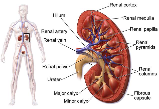 Schematische Darstellung der Niere