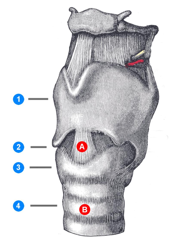 Larynx & Trachea – Anatomie der unteren Atemwege