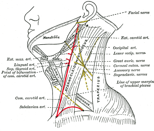 Abbildung der sensiblen Nerven des Plexus cervicalis