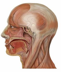 Seitendarstellung von Kaumuskulatur und Kopfmuskeln