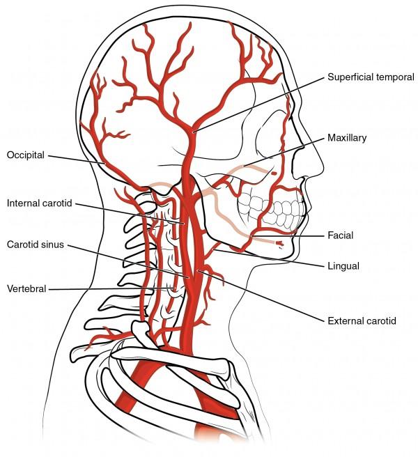 Arterien des Kopfes und Nackens