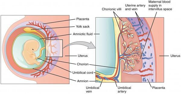 Bildung der Plazenta