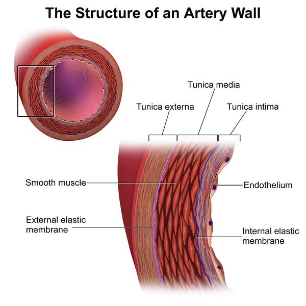 Wandbau einer Arterie