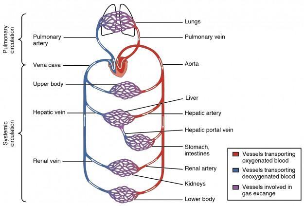 Blutkreislauf des Menschen   Medizinisches Fachwissen