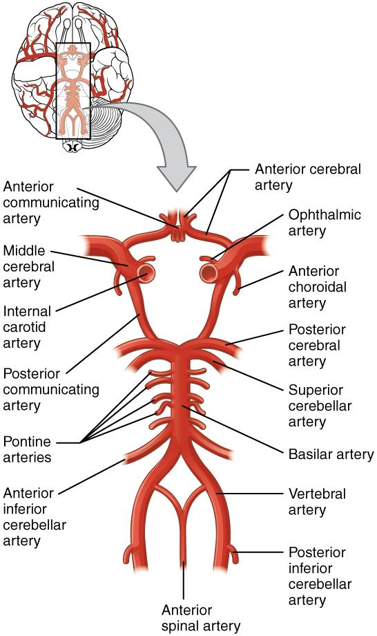 Neuroanatomie: Blutversorgung des Gehirns