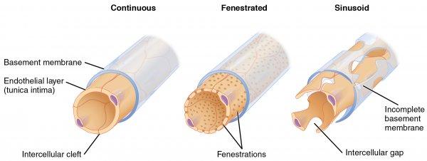 Histologie: Der Wandaufbau von Arterien und Venen