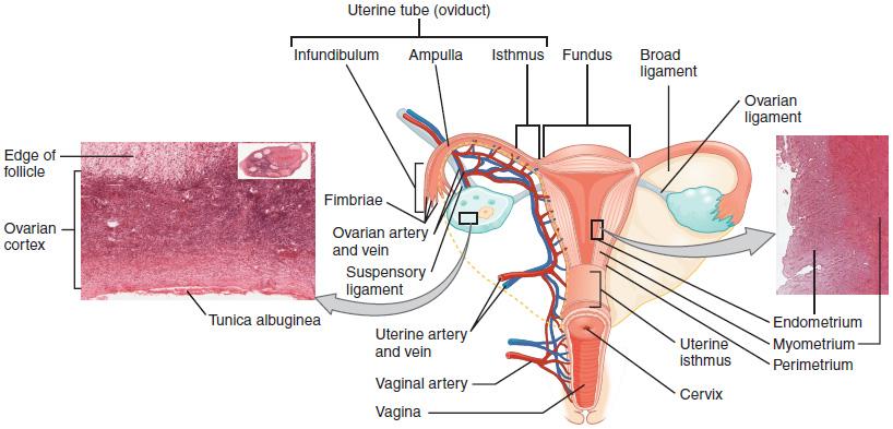 Anatomie und Funktion des weiblichen Urogenitalsystems