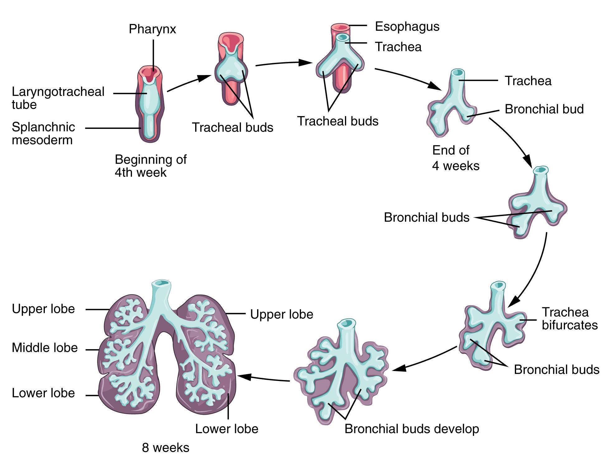 Frühe Phase der Lungenentwicklung