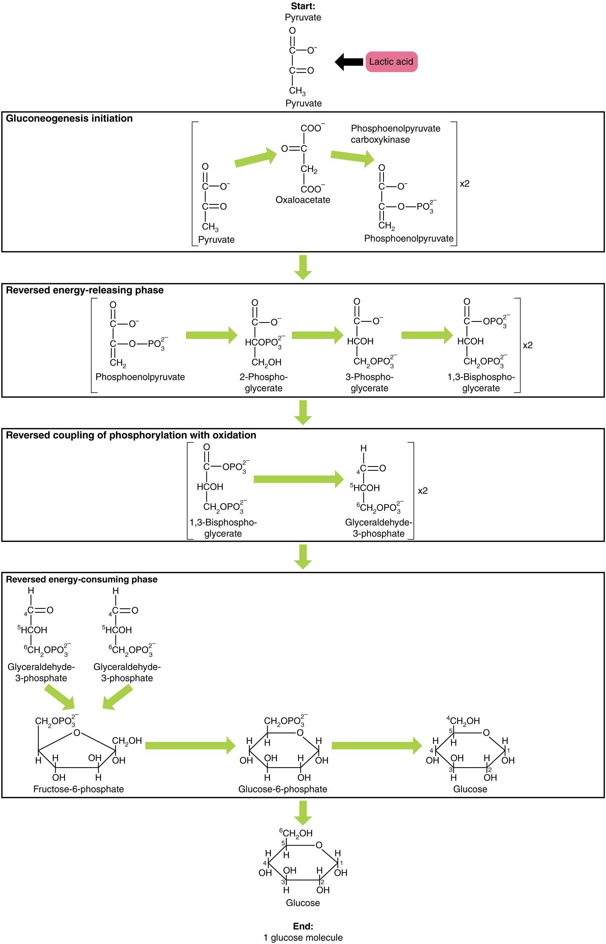 Gluconeogenese Ablauf