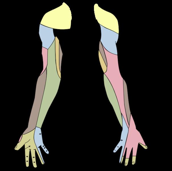 Hautinnervation der rechten oberen Extremität