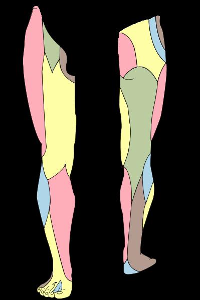 Hautnerven des rechten Beins