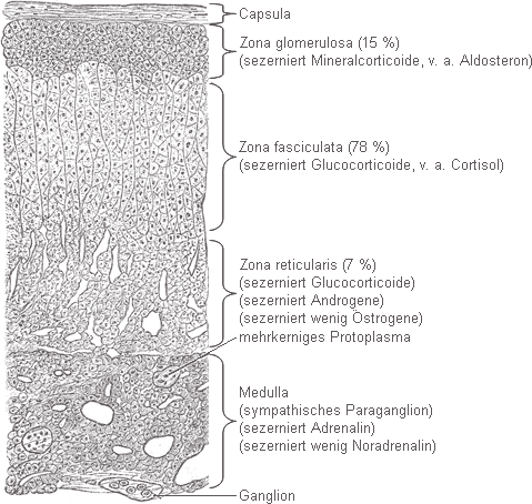 Endokrines System (Hormonsystem) & endokrine Organe