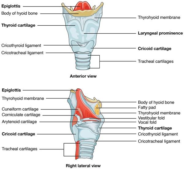Larynx: Anatomische Abbildung