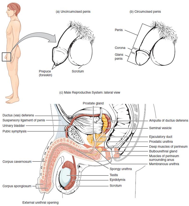 Die Geschlechtsorgane des Mannes