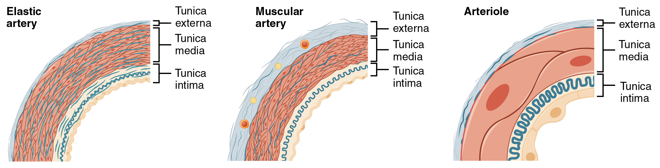 Muscular and Elastic Artery Arteriole