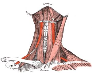 Abbildung des M. omohyoideus, Schulterblatt- Zungenbein- Muskel