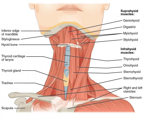 Muskeln des vorderen Nackens