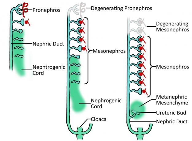 Nierenentwicklung: Pronephros Mesonephros und Metanephros