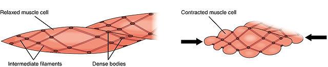 Muskelfaser Kontraktion und Entspannung