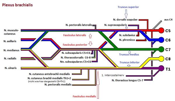 Schematische Darstellung Plexus brachialis