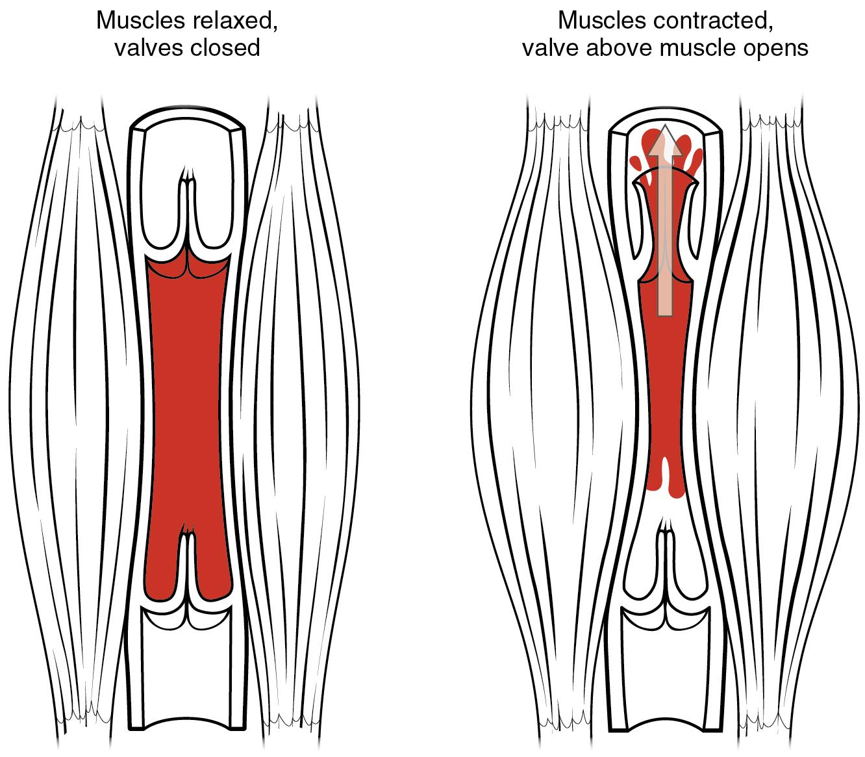 Muskelpumpe
