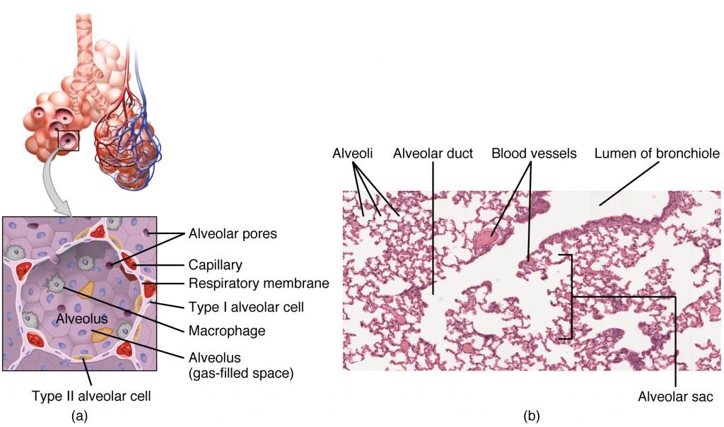 Die Strukturen der Atemzone