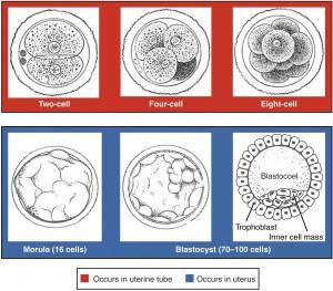 Ssw 13 Fertilisation Nidation Gastrulation Lecturio