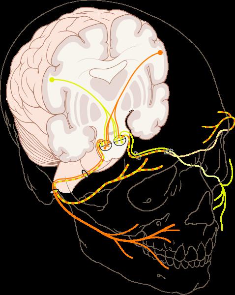 das ist der nervus facialis